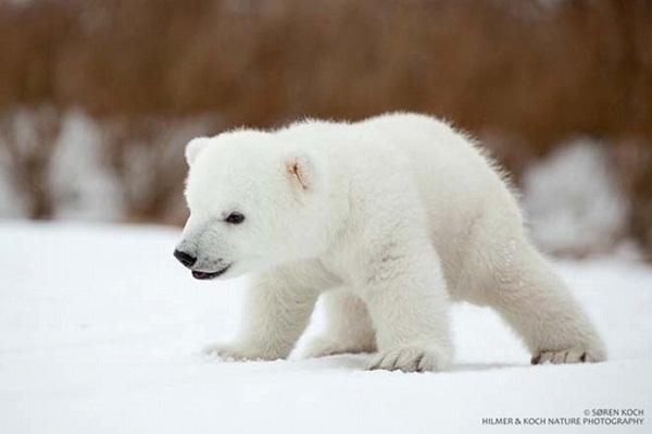 หมีขาว หรือ หมีขั้วโลก ตอนจบ