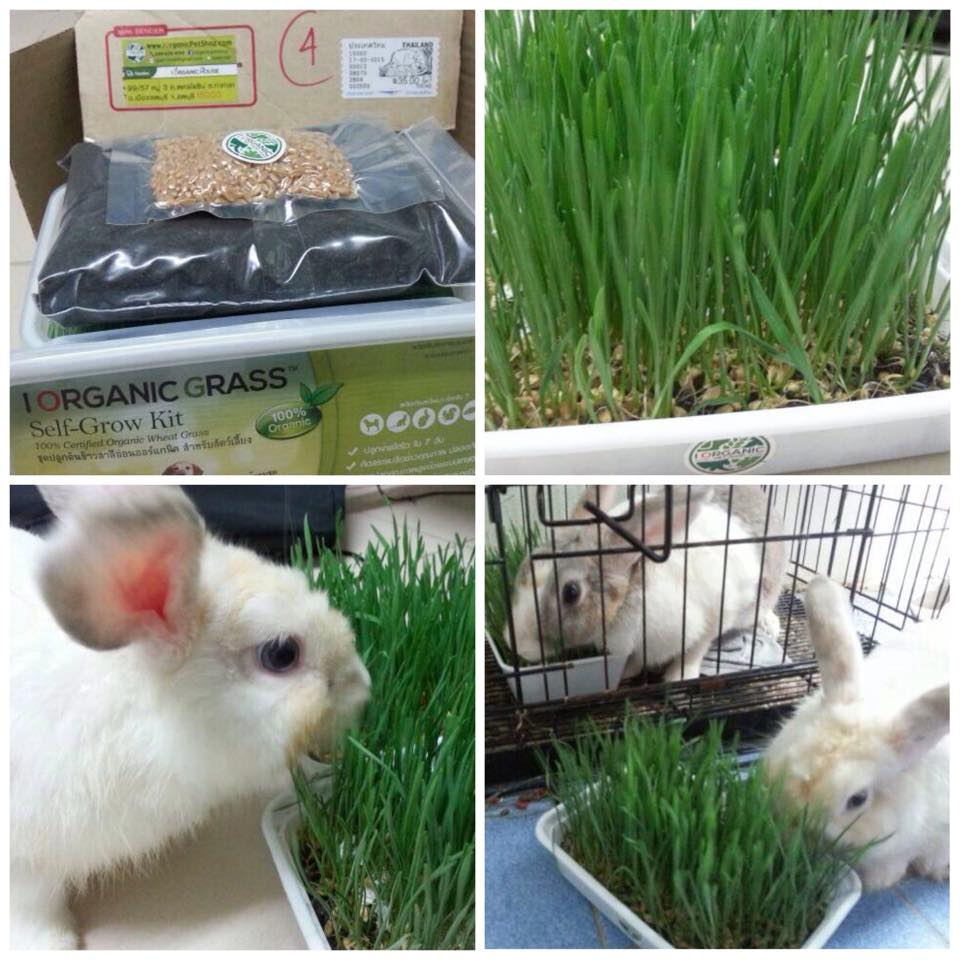 รีวิว ชุดปลูกข้าวสาลี หญ้ากระต่าย