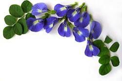 เมล็ดดอกอัญชัน(30 เมล็ด)