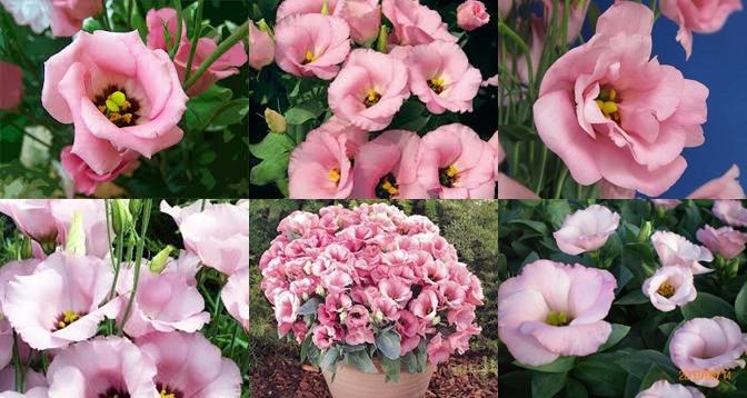 ดอกไลซิแอนธัส สีชมพู 5 เมล็ด/ชุด