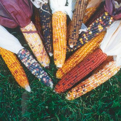 Calico Corn - ข้าวโพดแฟนซีบราซิล
