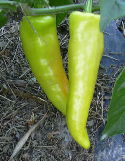 Hungarian pepper