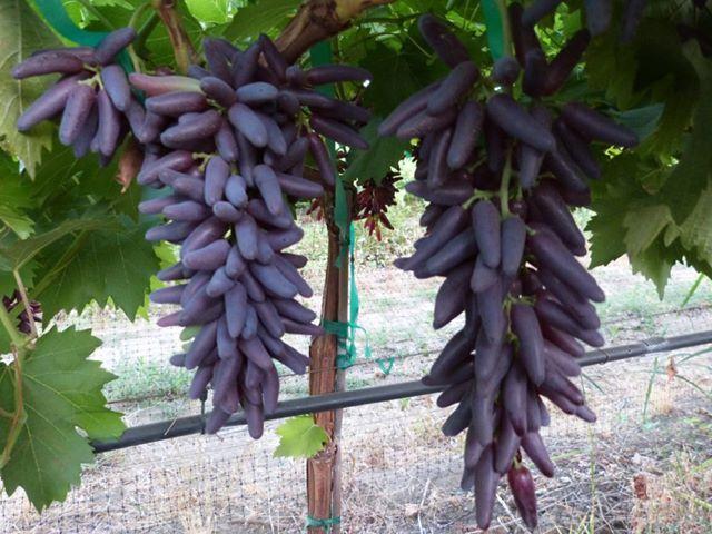 finger grapes (องุ่นนิ้วมือ)