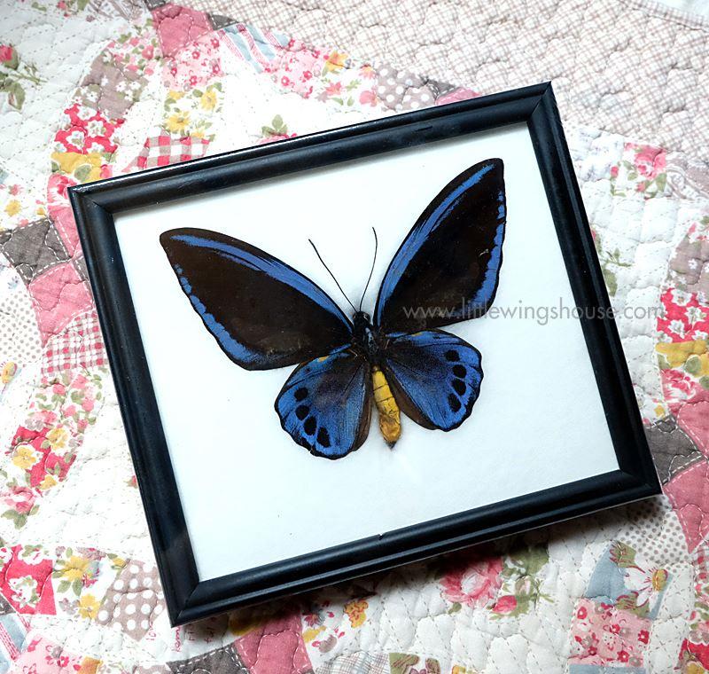 ++ ผีเสื้อสต๊าฟ กรอบผีเสื้อปีกโอบี ตัวผู้ Obi Birdwing (Ornithoptera aesacus) ++