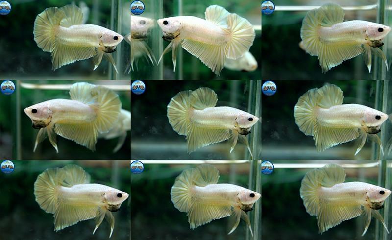"""(ขายแล้วครับ)""""คัดเกรด""""ปลากัดครีบสั้น-Halfmoon Plakats Gold Dragon"""