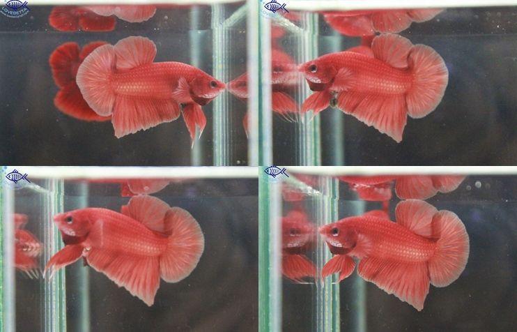 (ขายแล้วครับ)ปลากัดครีบสั้น - Halfmoon Plakats Orenge