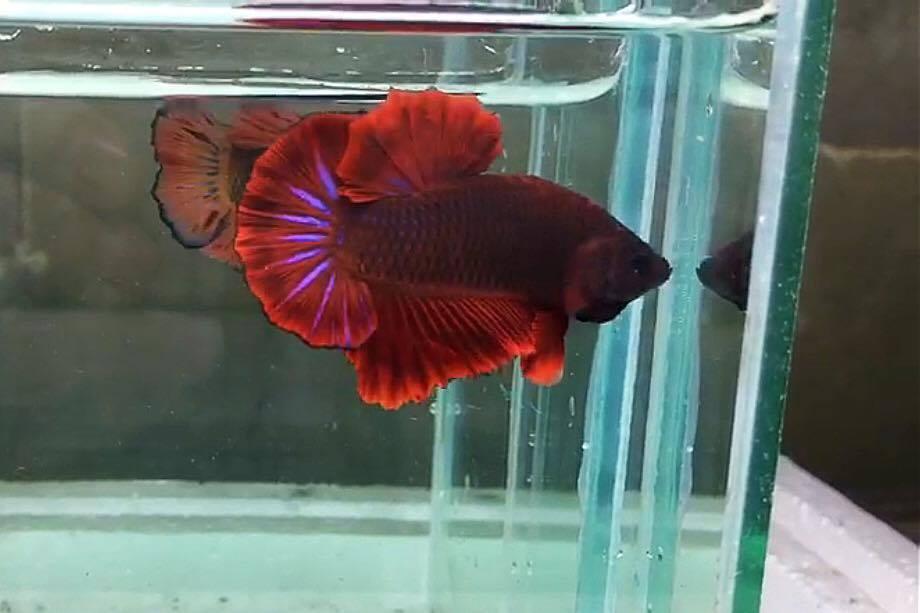 ปลากัดคัดเกรดครีบสั้น - Halfmoon Plakad Fancy Red อสูร Quality Grade