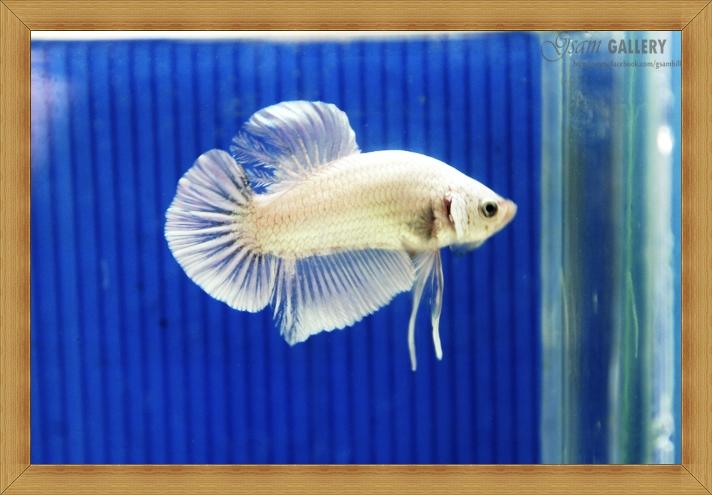 ปลากัดครีบสั้น - Halfmoon Plakats