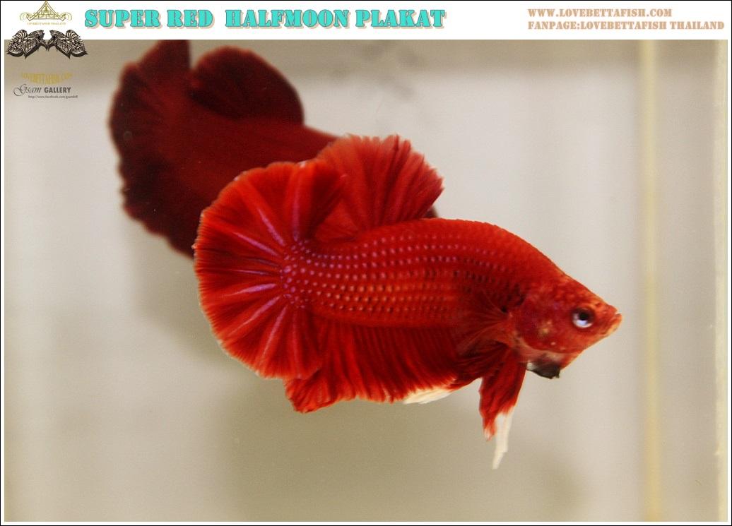 """(ขายแล้วครับ)""""คัดเกรด""""ปลากัดครีบสั้น-Halfmoon Plakats Super Red OVer Tails"""