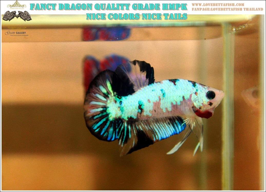 """(ขายแล้วครับ)""""คัดเกรด""""ปลากัดครีบสั้น-Halfmoon Plakats Fancy Dragon Nice Colors"""