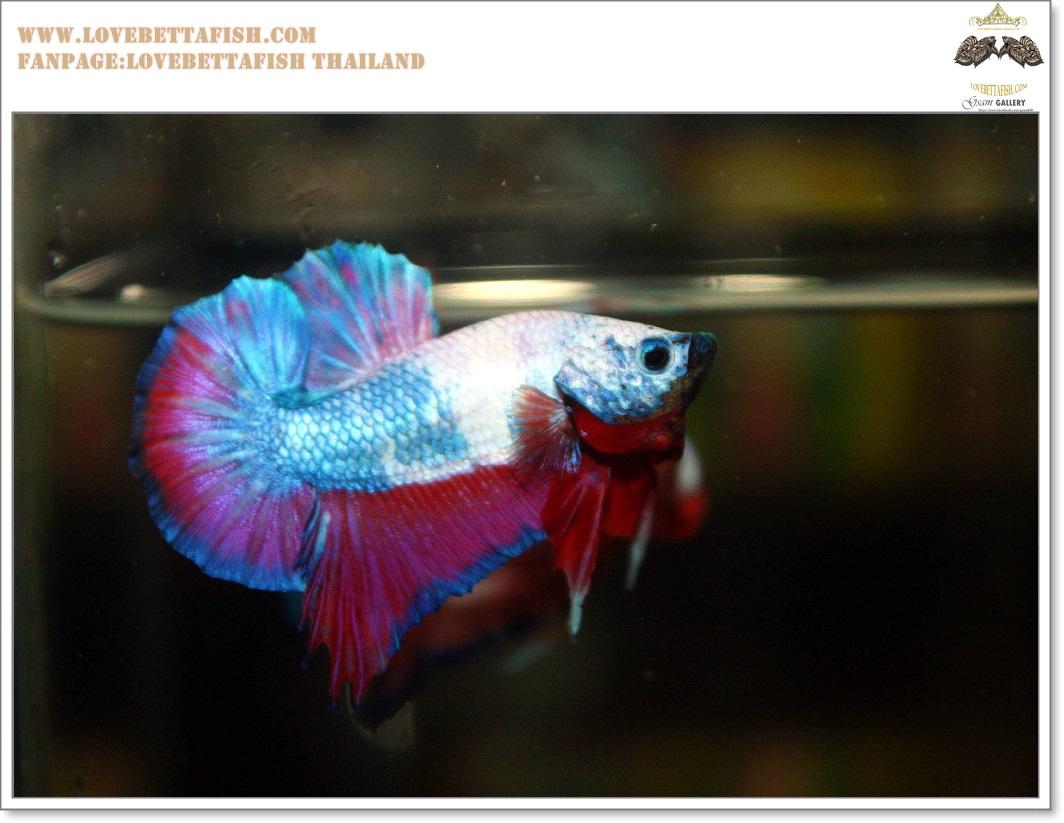 คัดเกรดปลากัดครีบสั้น-Halfmoon Plakat Fancy Dragon Quality Grade