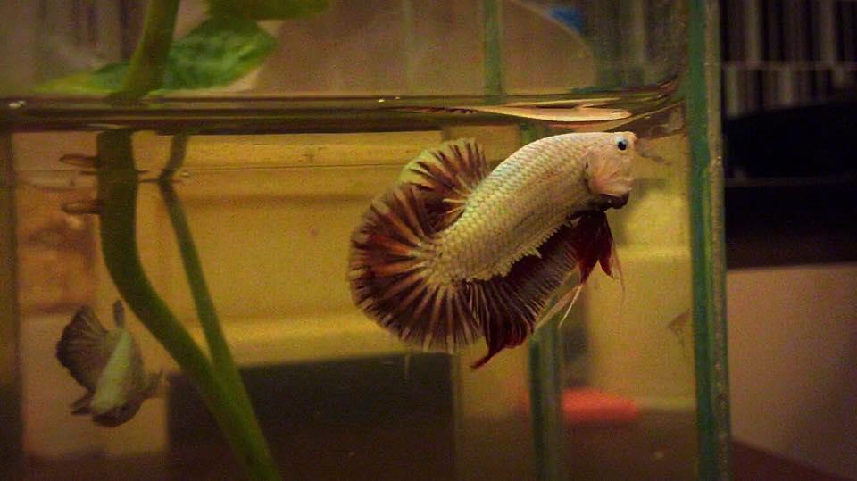 คัดเกรดปลากัดครีบสั้น-Halfmoon Plakat Red Dragon Grade