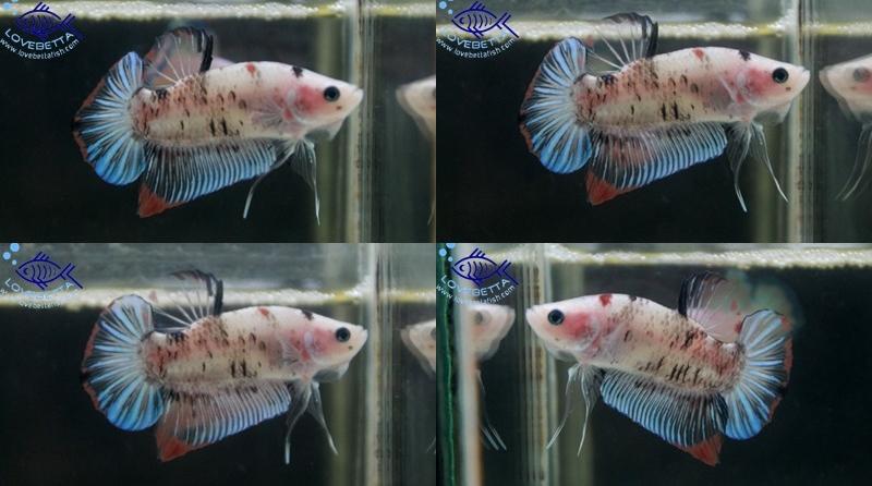 """(ขายแล้วครับ)""""คัดเกรด""""ปลากัดครีบสั้น-Halfmoon Plakats Fancy Koi"""