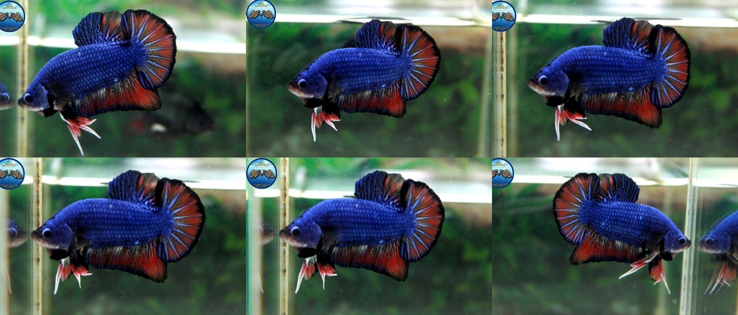 """(ขายแล้วครับ)""""คัดเกรด""""ปลากัดครีบสั้น-Halfmoon Plakats Fancy Blue"""