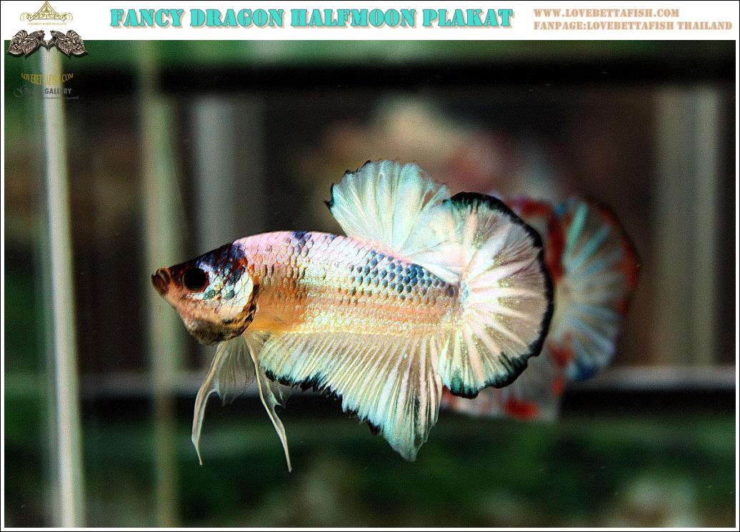 """(ขายแล้วครับ)""""คัดเกรด""""ปลากัดครีบสั้น-Halfmoon Plakats Fancy Marble Over"""