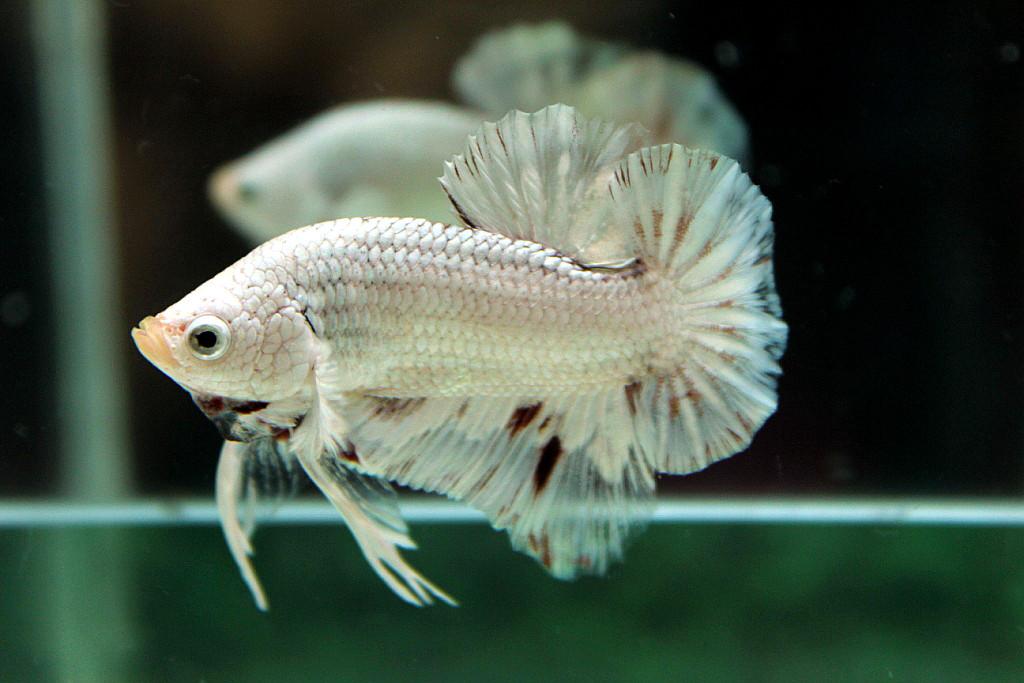 คัดเกรดปลากัดครีบสั้น-Halfmoon Plakat White Dragon Hi - Quality Grade