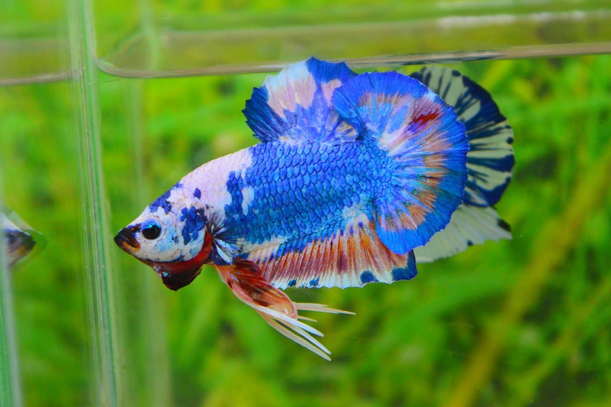 คัดเกรดปลากัดครีบสั้น-Halfmoon Plakat Fancy Blue Mable Quality Grade