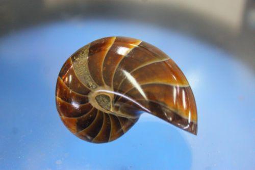ฟอสซิลนอติลุส (Fossil Nautilus)